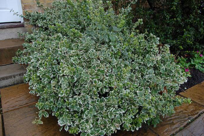 Бересклет Форчуна – стелющийся вечнозелёный кустарник, который используется в качестве живой изгороди